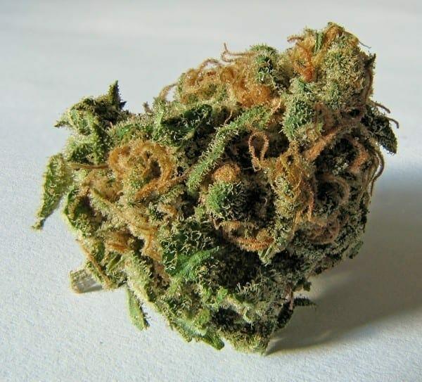 Flores secas de la planta Cannabis sativa. Los tricomas contienen grandes cantidades de tetrahidrocannabinol (THC), cannabidiol (CBD) y otros cannabinoides. Fuente: Wikipedia. Autor: Ryan Bushby