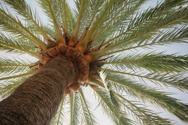 tree spain palm