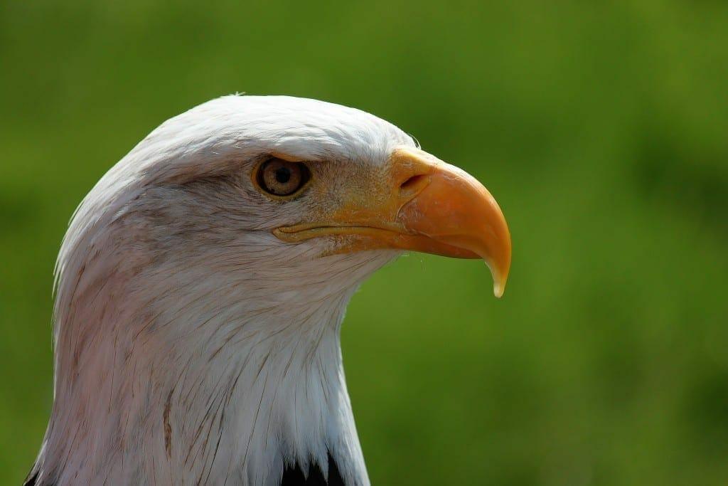 bald eagle portrait white tailed eagle adler 38998