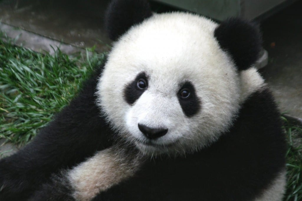 Un panda gigante en la Reserva natural nacional Wolong, Sichuan. Fuente: Wikipedia. Autor: Sheilalau