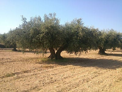 1515356217 olivo centenario