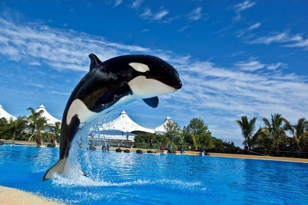 1525264782 orca saltando 1