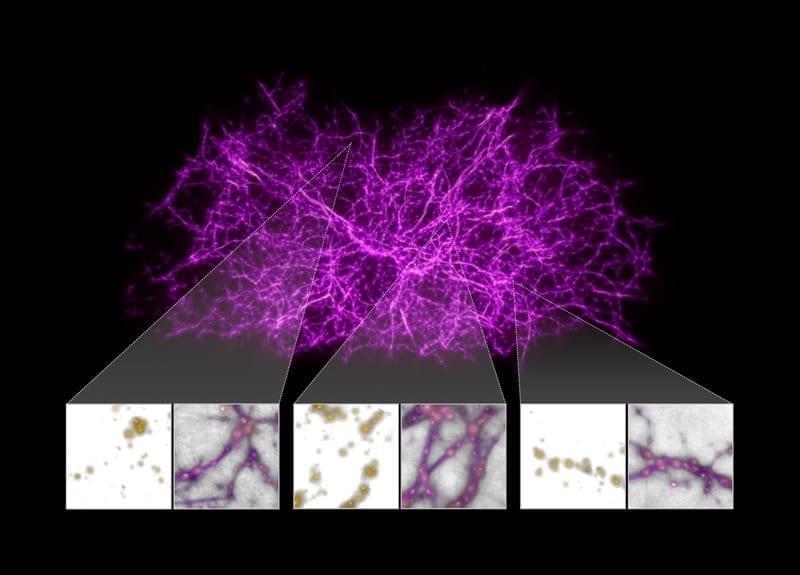 Los astrónomos se han vuelto creativos al tratar de rastrear la elusiva red cósmica, la columna vertebral a gran escala del cosmos. Los investigadores recurrieron al moho del limo, un organismo unicelular que se encuentra en la Tierra, para ayudarlos a construir un mapa de los filamentos en el universo local (a menos de 500 millones de años luz de la Tierra) y encontrar el gas dentro de ellos. Image Credit: NASA, ESA, y J. Burchett and O. Elek (UC Santa Cruz)