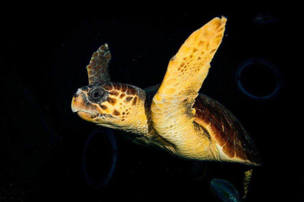 Una tortuga encontrada en estado crítico se recupera en Poema del Mar antes de ser devuelta al mar